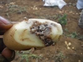 TOUBA - Un camion de pommes de terre pourries immobilisé