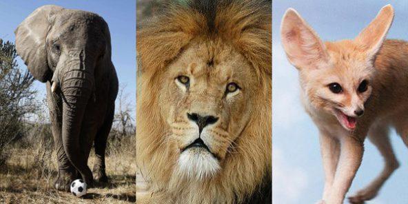 Football : pourquoi les sélections africaines aiment se donner des noms d'animaux (Jeune Afrique)