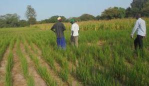 Pr Moussa Baldé, DG de la SODAGRI: « Le riz est possible partout… »