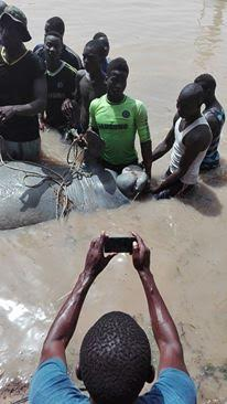 Un lamantin mort échoue sous le pont de la rivième Taouey