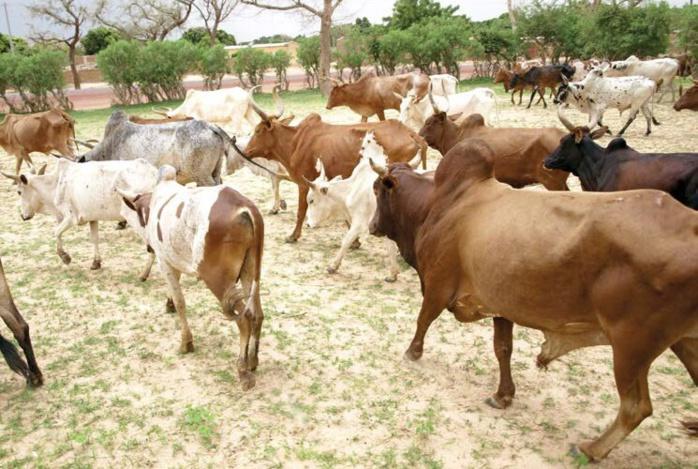 Tamkharit aux Parcelles, à la Medina et au Plateau  Amadou Bâ, Seydou Guèye et Yakham Mbaye offrent quarante-huit boeufs