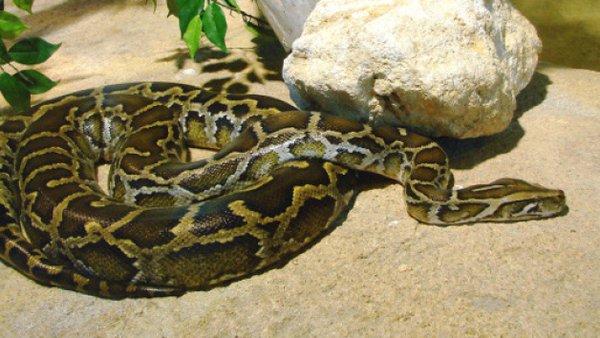 Diourbel :  Un python de 8 mètres terrorise les populations