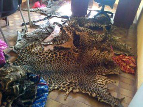 Criminalité faunique : Un trafiquant arrêté à Kaolack avec une grande quantité de contrebande de peaux de lion et autres espèces rares