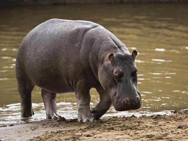 Ndiawdoune à Saint- Louis : Moussa Diop, pêcheur de 78 ans, tué par un hippopotame