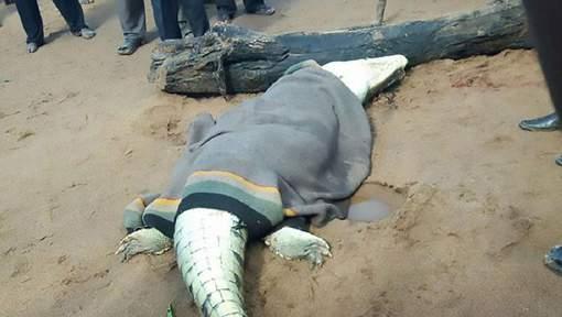 Une macabre découverte dans l'estomac de ce crocodile