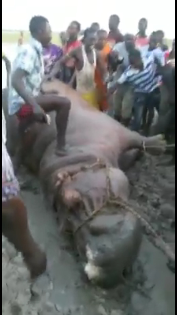 L'hippopotame qui semait la terreur à Gouloumbou a été tué par les populations