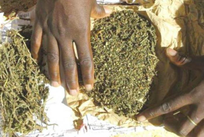 Saisie de drogue à Saint Louis : Un cultivateur pris avec 125 grammes de chanvre et 5 cornets de drogue