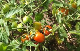 Campagne de tomate 2016/2017 dans le Delta et la vallée du fleuve Sénégal : La production passe de 28.000 à près de 53.000 tonnes en 2017