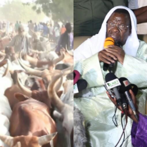 TOUBA - Cheikh Béthio draine pas moins de 5.000 bœufs, distribue des tonnes de condiments et promet un festin aux populations des quartiers périphériques