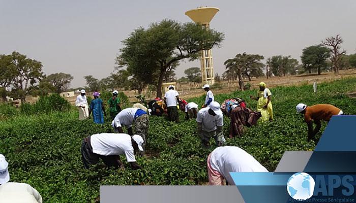 Périmètres maraîchers du PUDC : Séwékhaye à l'heure de sa première récolte