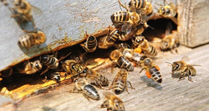 SAM-Kaolack : Les populations attaquées par un essaim d'abeilles