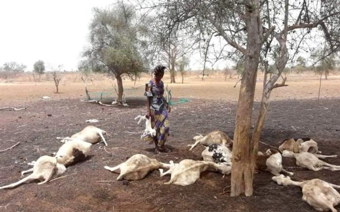 Élevage : 22.000 animaux décimés