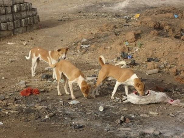 Opération d'abattage de chiens errants dans la ville de Louga.