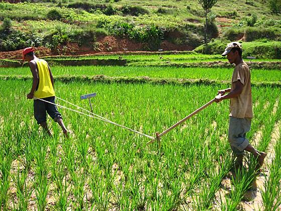 Une autre lecture des résultats de la politique de l'autosuffisance en riz au Sénégal