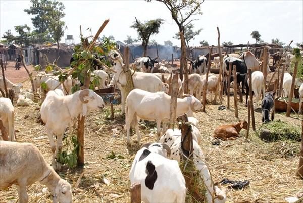 LOUGA : De nombreux cas de vol de bétail signalés et de voleurs arrêtés