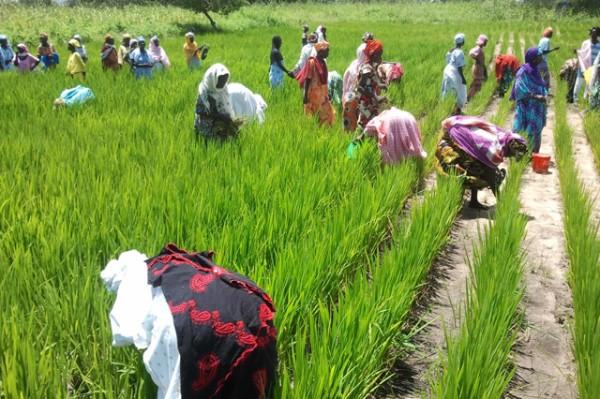 L'hivernage promet de bonnes récoltesà Kolda : L'espoir renaît chez les paysans.