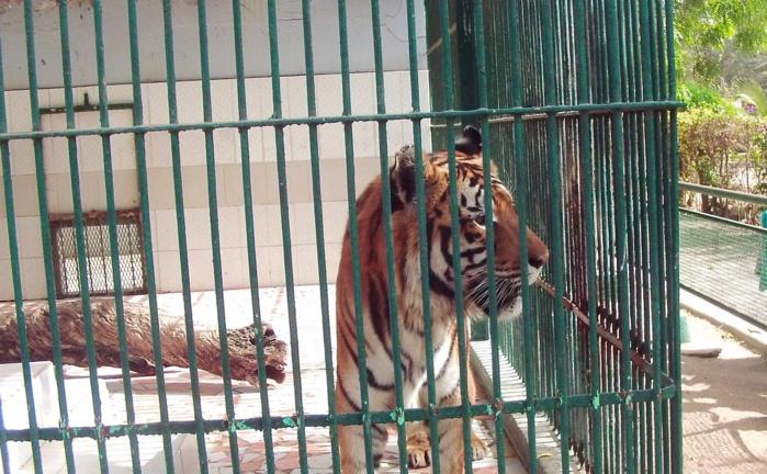 Parc de Hann : Le tigre souffre d'un état grabataire dû à son poids et à son âge