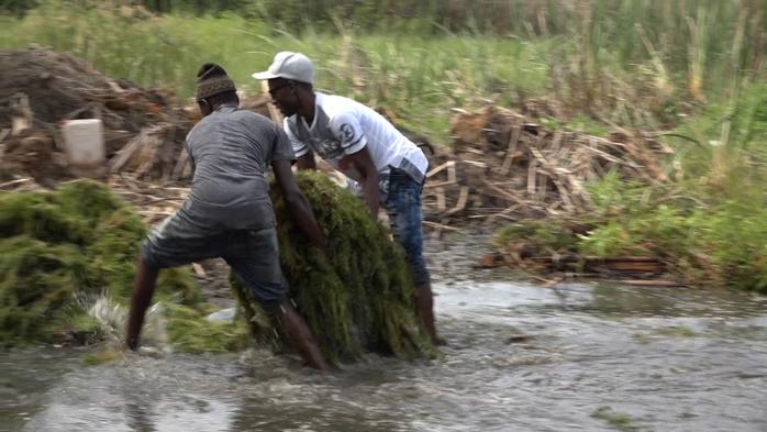 Catastrophe environnementale dans la commune de Gandon : les plantes aquatiques envahissantes polluent le marigot du NDiassew