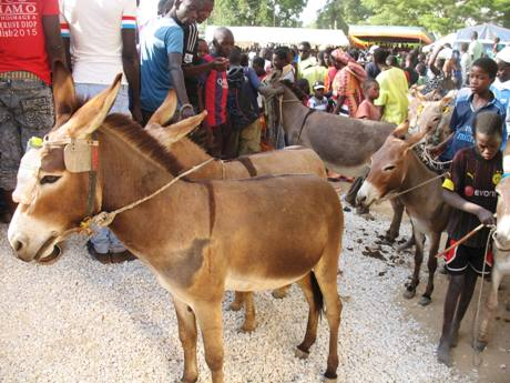 LOUGA/Un âne tue par morsure son propriétaire âgé seulement de 9 ans.