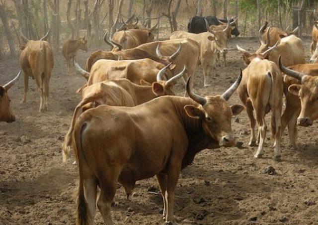 Goudomp : Victimes de vol de bétail, les populations de Simbandi Balante appliquent la loi du talion pour se faire justice