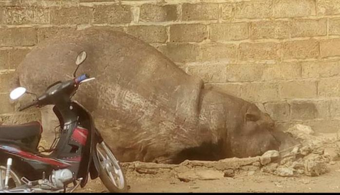 KÉDOUGOU : Un hippopotame sème la panique dans la ville et perturbe pendant des heures le sommeil des populations.