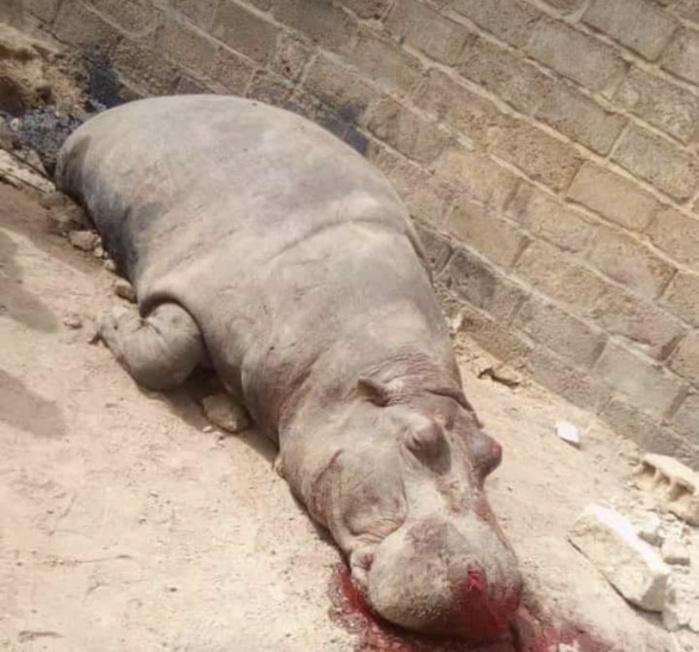 """Hippopotame de Kédougou :  """"La décision d'abattre l'hippopotame n'était nullement l'intention des autorités...  Elle est due à un manque de moyens matériels..."""" (Commandant Moussa Ndour)"""