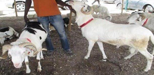 INSOLITE / LOUGA : Saisi de troubles gastriques après avoir dérobé des moutons, il les restitue finalement à leur propriétaire.