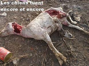 Thiès : Des chiens errants attaquent 5 cinq moutons au foirail, et en tuent 3...