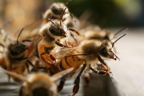 Lancement des travaux du pont de Matam par Me Wade: Les abeilles ont failli gâcher la fête