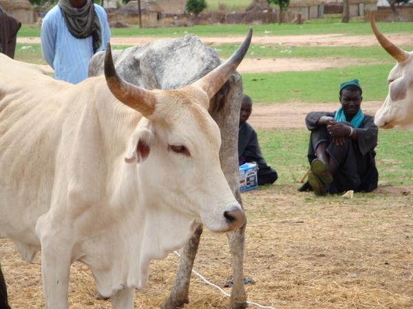 Les éleveurs de Dagana avertissent contre le projet agricole de 26 000 hectares: «Si à Podor il y a eu deux morts, à Dagana il y aura des milliers de morts.»
