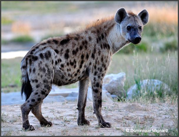 Nioro du Rip : La population terrorisée par la présence d'une hyène.