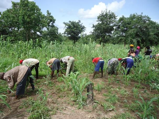 Incursion dans les champs à Kolda : récoltes, moisson et satisfecit des paysans…