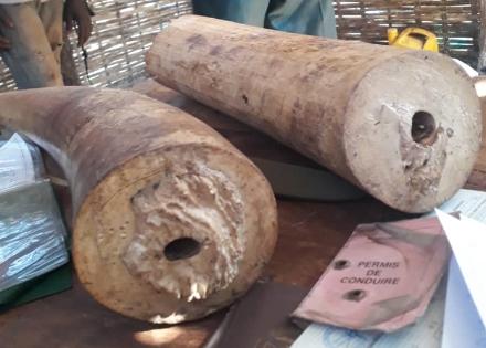 Lutte contre la criminalité transfrontalière : La Douane saisit deux défenses d'éléphant à Kédougou et de 66 kg de chanvre indien à Kolda.