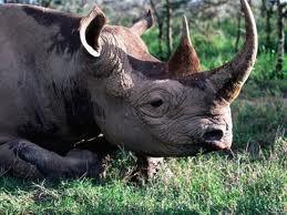 Le kilogramme de corne de rhinocéros vaut vingt millions de francs cfa au marché noir.