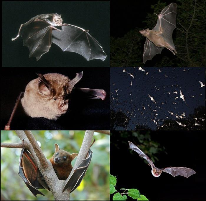 Covid-19 / Massacre de chauves-souris : des secrétariats de protection de la faune sauvage alertent sur leur disparition