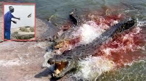 Horreur à Yamoussoukro: des crocodiles dévorent leur gardien.