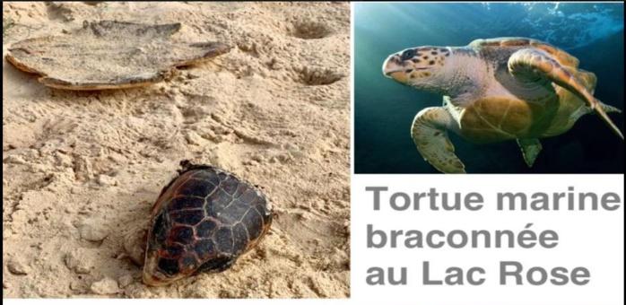 Lac Rose : Braconnage de tortue marine le jour de la Korité