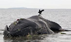 Insolite : Une baleine s'échoue sur la plage de Cayar