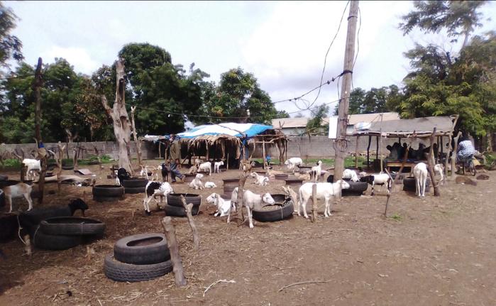 Tabaski 2020 à Kolda : Éleveurs et vendeurs de moutons dans la tourmente de la covid-19.