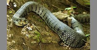 Kaolack : un serpent de trois mètres dans un lit.