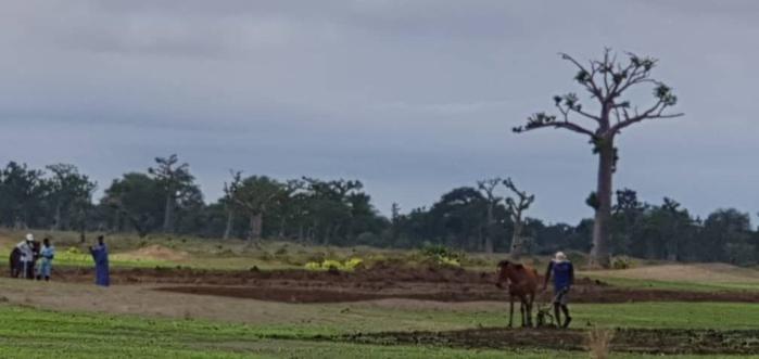 NDENGLER : Les paysans ont repris le chemin des champs.