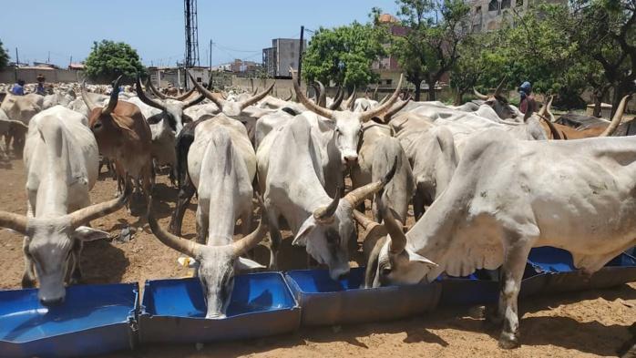 TAMXARIT ET COVID-19 / Le Président Macky Sall dépêche 1.600 bœufs à répartir entre les personnes nécessiteuses pour les besoins de la célébration.