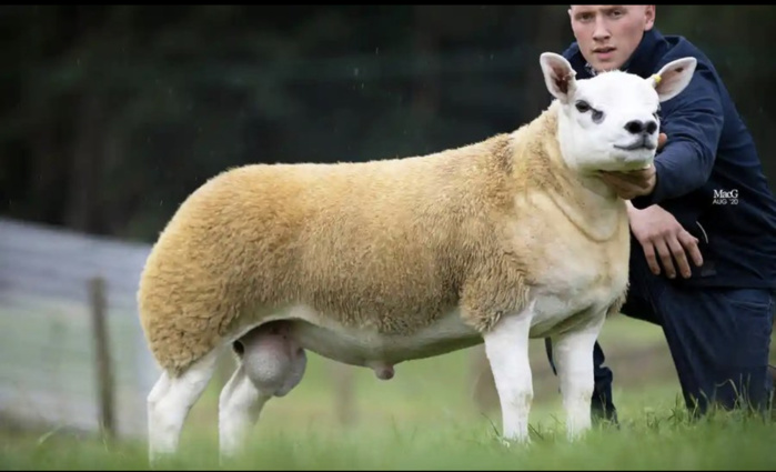 Ecosse : Un mouton vendu aux enchères à 410.000 euros