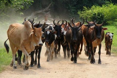 KOLDA : Plus de cent bœufs volés ont été ramenés grâce aux forces de défense et de sécurité.