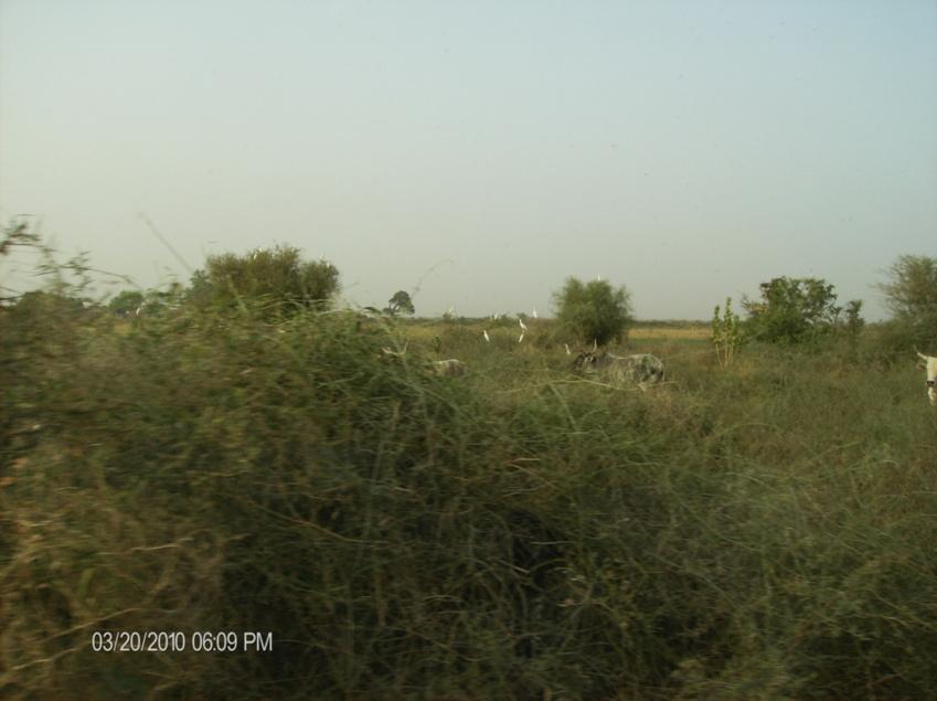 Le Camouflage des morts a la Compagnie Sucriere Senegalaise- Richard- Toll