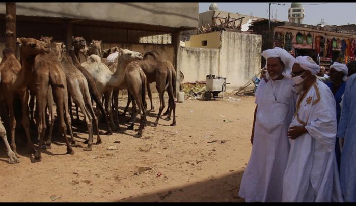Gamou 2020 : Arrivée d'une forte délégation mauritanienne avec un troupeau de chameaux en guise de don au Khalife général de Médina Baye (images).