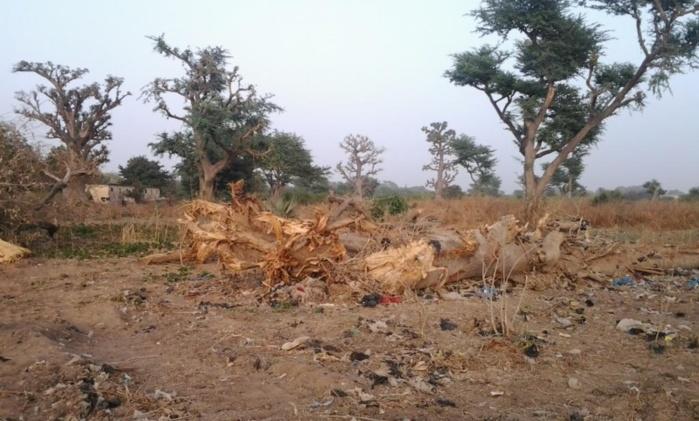 Destruction de la forêt « poumon vert de Thiès Ouest »  Un désastre écologique qui n'émeut personne