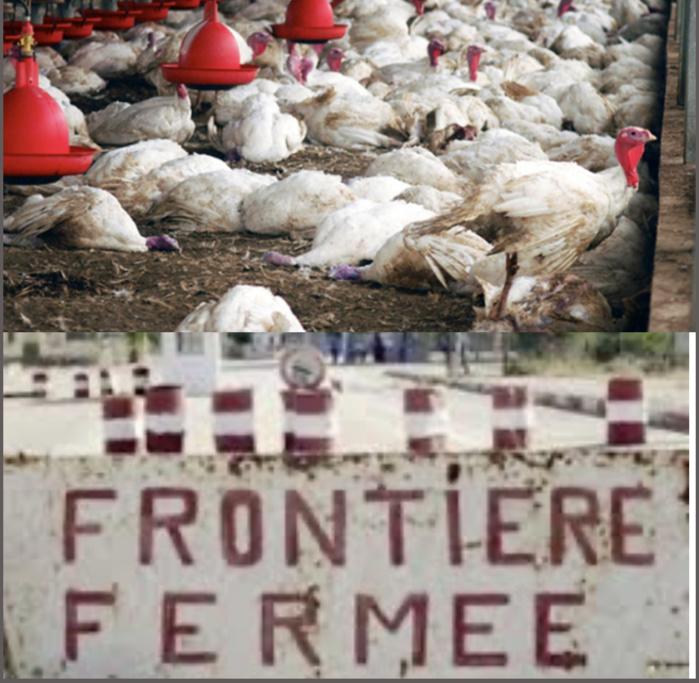 Conséquence de l'apparition de la grippe aviaire : La Gambie ferme ses frontières aux poulets du Sénégal.