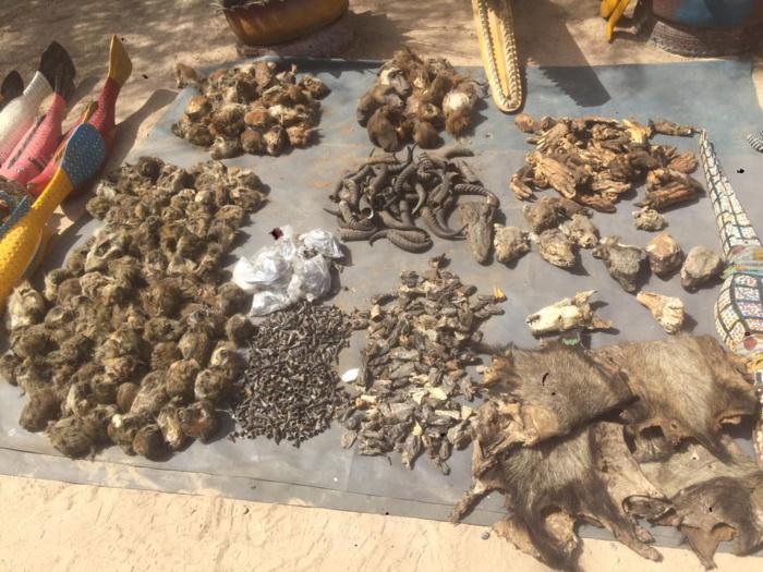 Kaolack : Le service régional des eaux et forêts expose sa toute dernière saisie issue du braconnage transfrontalier alimentant le marché noir au Sénégal.