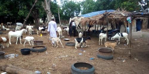 Préparatifs de la Tabaski à Kolda : Cherté des moutons et de l'aliment de bétail, absence de financements, points de vente pas encore bien fournis…